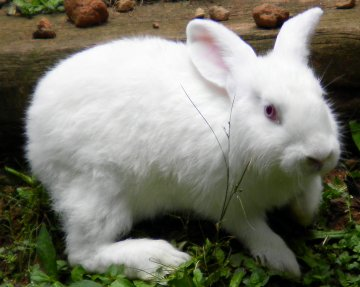 Rabbits for sale! - Paradise Valley Farm